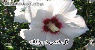 گل ختمی در روایات